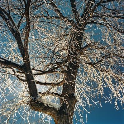 icetreeblue.jpg